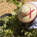Este es el nuevo protocolo de Castilla-La Mancha para evitar brotes de COVID durante la vendimia