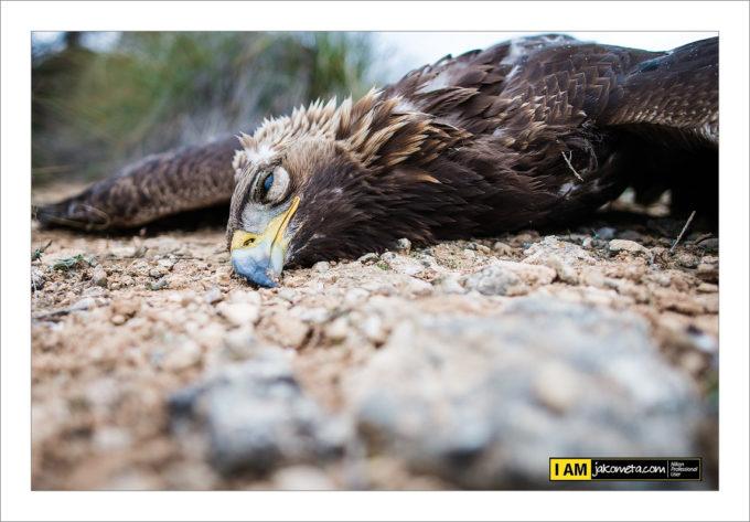 FOTOS | Un águila real, última víctima de los tendidos eléctricos en Albacete