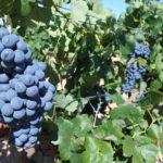El Gobierno regional ha abonado pagos de reestructuración de viñedo para 297 agricultores de la provincia