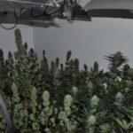 Detenido un clan familiar dedicado al cultivo de marihuana en un municipio de Castilla-La Mancha