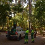 Se inicia el tratamiento frente a la procesionaria con endoterapia en 182 pinos y pulverización de zonas verdes en Albacete